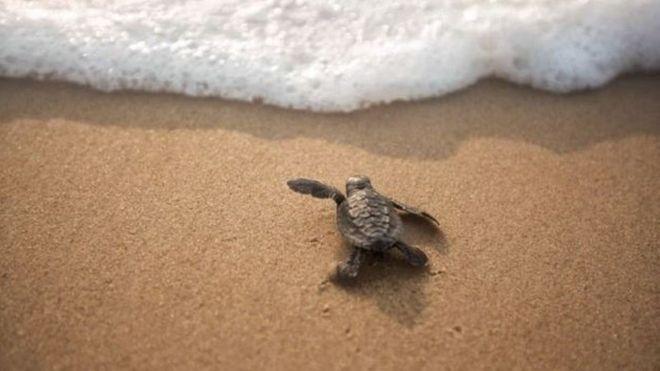 بالصور: هجرة السلاحف البحرية من أجل التناسل